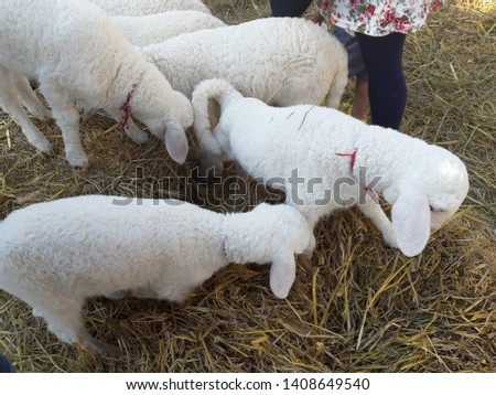 Sheep in the park eating food #1408649540