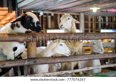 sheep in the wooden fence at...
