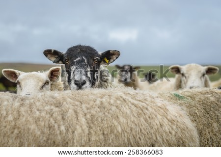 Sheep in the Yorkshire dales England countryside staring intently while hiding behind another sheep.