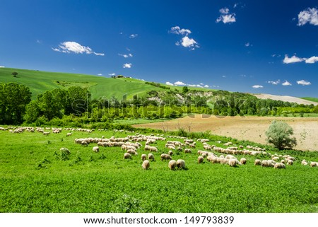 Sheep in Tuscany meadow, Italy