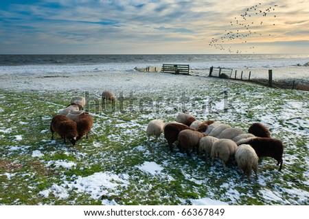 sheep in winter in Warder, Markermeer, The Netherlands