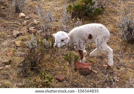 sheep, isla del sol, Bolivia