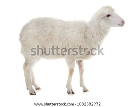 sheep isolated on white background #1082582972