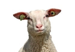 Sheep isolated on white background, cross eyed, funny expression and looking crazy.