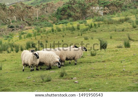 Sheep. It is a mammal of the Bovidae family and is a domesticated animal in ancient times, and very widespread.  It lives mainly in flocks, to manage which the man often relies on shepherd dogs. #1491950543