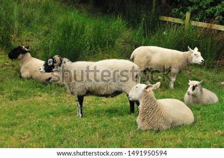 Sheep. It is a mammal of the Bovidae family and is a domesticated animal in ancient times, and very widespread.  It lives mainly in flocks, to manage which the man often relies on shepherd dogs. #1491950594