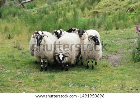 Sheep. It is a mammal of the Bovidae family and is a domesticated animal in ancient times, and very widespread.  It lives mainly in flocks, to manage which the man often relies on shepherd dogs. #1491950696