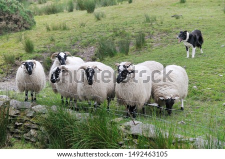 Sheep. It is a mammal of the Bovidae family and is a domesticated animal in ancient times, and very widespread.  It lives mainly in flocks, to manage which the man often relies on shepherd dogs. #1492463105