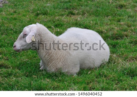Sheep. It is a mammal of the Bovidae family and is a domesticated animal in ancient times, and very widespread.  It lives mainly in flocks, to manage which the man often relies on shepherd dogs. #1496040452