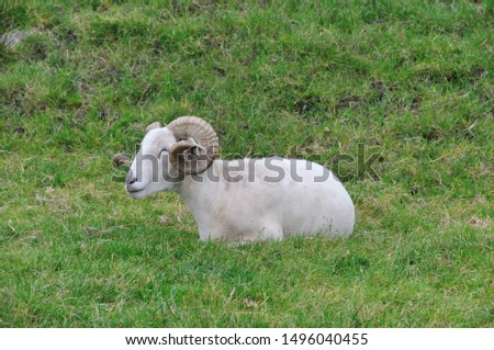 Sheep. It is a mammal of the Bovidae family and is a domesticated animal in ancient times, and very widespread.  It lives mainly in flocks, to manage which the man often relies on shepherd dogs. #1496040455