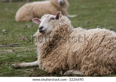 Sheep Laying Down - stock photo