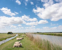 sheep lie on grassy dike north of amsterdam under cloudscape with white clouds in blue sky