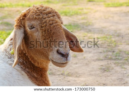 Sheep look is happy in farm