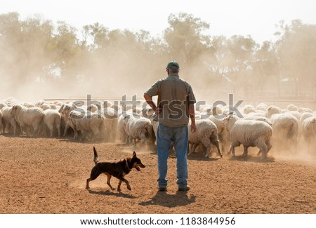 sheep mustering in outback New South Wales, Australia. Stock foto ©