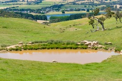 Sheep near the dam, lake nature background. Agriculture, rural landscape