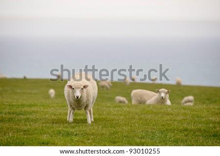 Sheep near the sea, New Zealand