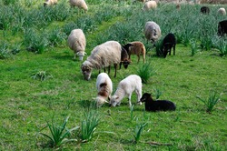 sheep near the village of southern Corsica in the maquis, france