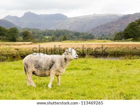 Sheep nibbling grass in front of Langdale Pike in English Lake District