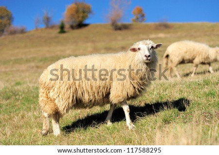 Sheep on a autumn field