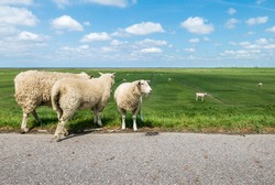 Sheep on a dike on the North Sea coast in North Friesland Germany. Green grassland on the coastal landscape in front of the North Sea. blue sky with small clouds. sheep to care for the dikes. Mouflon
