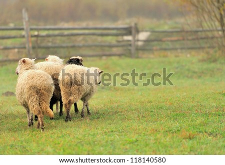 Sheep on a farm in fog