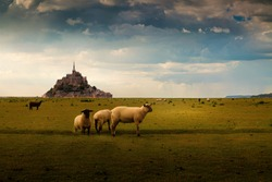 Sheep on a farm in Normandy, France with Mont Saint Michel in the background
