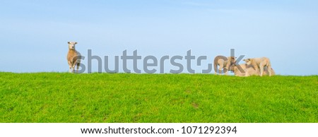 Sheep on a green dike along a lake in sunlight in spring #1071292394