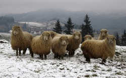 Sheep on a mountain meadow on a foggy winter day