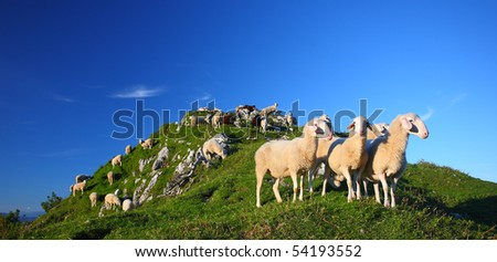 Sheep on a pasture in mountains