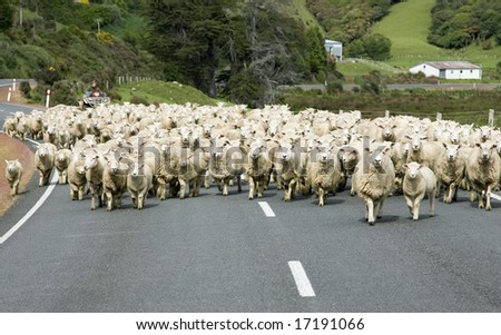 Sheep on a road in New Zealand