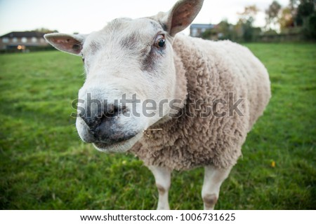 Sheep on a smallholding farm in Herefordshire, UK. The farm only has two sheep and they're hand reared and very accustomed to humans, so they walk right up to you! Stok fotoğraf ©