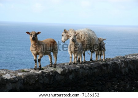 sheep on a wall