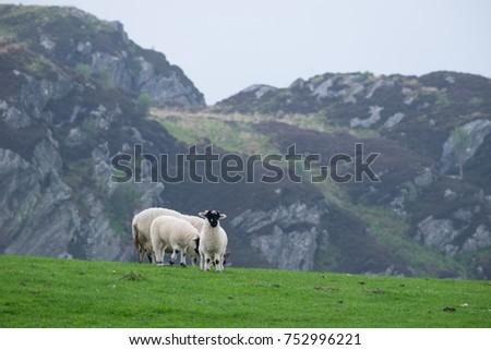 Sheep on Argyll hill farm. #752996221