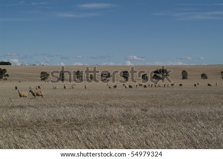Sheep on dry field in South Australia