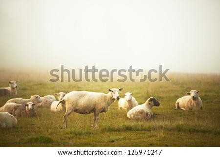 Sheep on farm in morning fog - selective focus