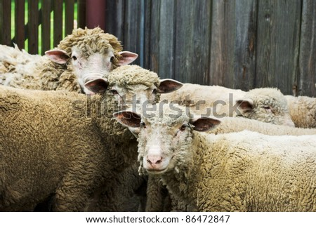 sheep on grass with blue sky, some looking at the camera