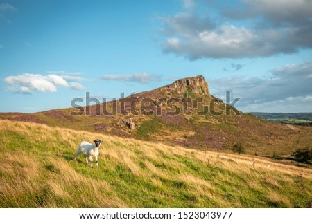 Sheep on grassy hillside at warm summer evening, The Roaches in peakd District National Park, UK