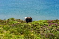 Sheep on Great Orme headland in Llandudno, Wales