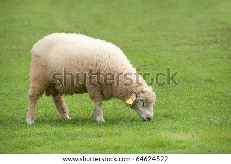 Sheep on green field