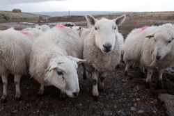 Sheep on Lewis and Harris island Scotland, Great Britain. Ovis aries  are quadrupedal, ruminant mammals kept as livestock. Like most ruminants, are members of the order, the even-toed ungulates.