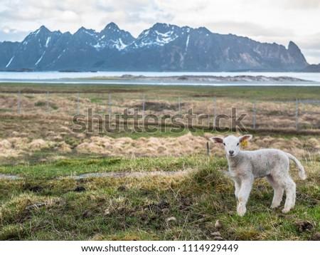 Sheep on Lofoten #1114929449