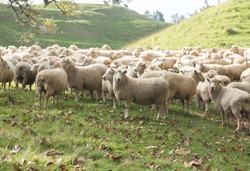 Sheep on Mountain in Auckland