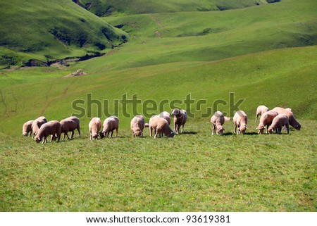 Sheep on mountain in the city of Kunming, China