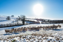 Sheep on snow-covered Shropshire Hills, near Clun, rural England, UK, in Late December, photo of Winter, Sheep, Snow, Agricultural Field, Farm