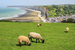 Sheep on the cliffs above port, between, Fecamp and Etretat, Normandy, France