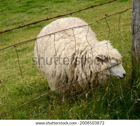 Sheep on the Levee at the North Sea, Husum, Schleswig - Holstein Stock fotó ©