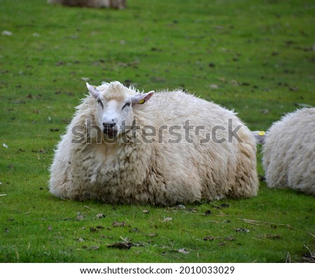 Sheep on the Levee of the North Sea, Husum, Schleswig - Holstein Stock fotó ©