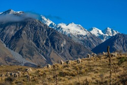 Sheep on top of Mount Sunday, scenic view of Mount Sunday and surroundings in Ashburton Lakes District, South Island, New Zealand