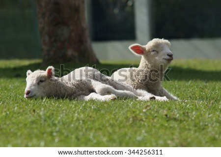 Sheep, One Tree Hill, Auckland, New Zealand
