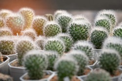 Sheep or cat hair or snow cactus., Mammillaria bocasana, Type of cactus with fluffy hair with blurred this kind of catus pot in house plant with light shading..
